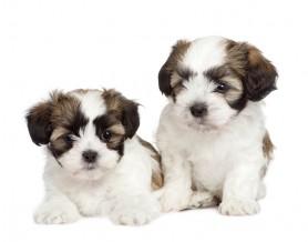 bigstock-Puppy-Mixed-Breed-Dog-Between--4209740